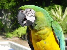 Miligold macaw is the resulted offspring of a Blue and Gold and a Military macaw. From the photos that I have seen it seems the older the bird the less orange on the front chest area. I would personally use a male blue and gold for this breeding.~T