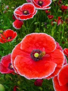 ~Red papaver Shirley Beautiful gorgeous pretty flowers