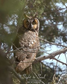 Long Eared Owl Art Wildlife Photography Bird Wall Art Print