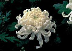 irregular incurved chrysanthemum