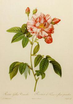 Empress Josephine's Rose, Redoute Flower Print, Wall Decor, 19th Century Artist Illustration (Flower Lithograph Art No. 129)
