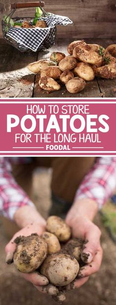 Ever had a bumper crop of potatoes that could never keep more than a month? If so, read our guide that delves into tips for storage and long-lasting spuds!