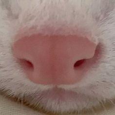 """小太郎*豆太郎 (@kotaro.mametaro) added a photo to their Instagram account: """"小太郎 or 豆太郎 😆?✨ 時々撮りたくなる、どアップ😂笑   #小太郎 #豆太郎 #どアップ #可愛いお鼻  #フェレット #マーシャルフェレット #フェレットのいる生活…"""" Kotaro, Ferret, Instagram, Ferrets, European Polecat"""