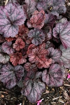 Heuchera 'Grape Expectations' PPAF, Heuchera Grape Expectations, buy Heuchera Grape Expectations for sale
