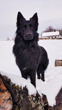 Cute Dogs And Puppies, I Love Dogs, Pet Dogs, Dog Cat, Doggies, German Shepherd Dogs, Black Shepherd, German Shepherds, Beautiful Dogs