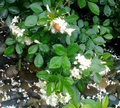 Bunga Kemuning Jepang dengan Buahnya