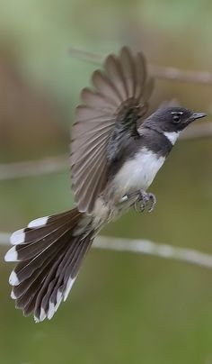 Abanico pío - Malaysian Pied Fantail - Malaienfächerschwanz - Rhipidure pie Birds, Fish, Animals, Animales, Animaux, Pisces, Bird, Animal, Animais