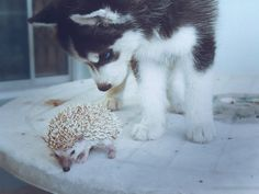 Double cuteness, our cats use to do the same thing with our hedgehogs!