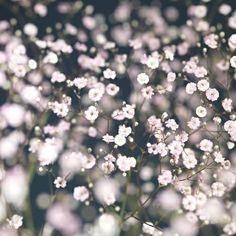 Gypsofilia FestivalTett forgreinet staude med en sky av hvite blomster. Trives i veldrenert, jevnt fuktig jord. Tåler tørre forhold. Gjenblomstrer. Klipp bort ferdigblomstrede blomsterstander for å sikre remontering.