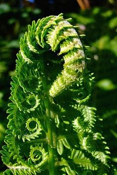 The Most Beautiful Ferns