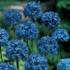 Blue flowering perennials and annuals. Pictures of exquisite, rare and some common blue flowers of many types for your home or garden. Home Garden Plants, Shade Garden, Flowers Perennials, Planting Flowers, Flowers Garden, Allium Flowers, Fall Planting, Colorful Flowers, Beautiful Flowers