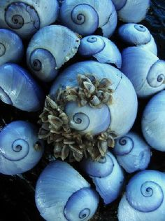 A macro of sea snail shells washed up on the beach Color Celeste, Sea Snail, Snail Shell, Fotografia Macro, Love Blue, Periwinkle Blue, Cerulean, Light Purple, Color Blue