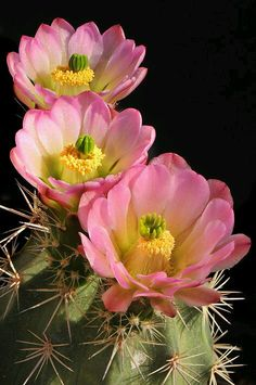 Pink cactus flower pinterest cactus flower cacti and el paso echinocereus triglochidiatus mightylinksfo