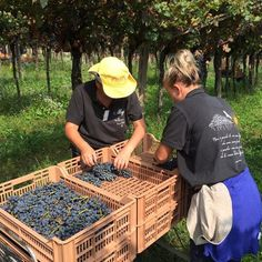 Carefully placing the just harvested grapes.