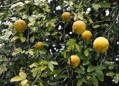 citron tree - Google Search