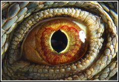 Eye of the Dragon Nature Animals, Animals And Pets, Beautiful Eyes, Animals Beautiful, Reptile Eye, Komodo Dragon, Dragon Eye, Weird Creatures, Creature Feature