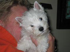 Westie puppy - Dooney