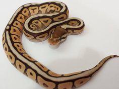 Savannah Bee - Morph List - World of Ball Pythons. Cinnamon, Mojave, Spider.