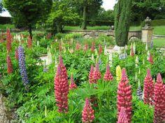 Польза люпина в саду и в огороде ️ #люпин #сад #растения #огород #цветы #клумба #пользалюпина