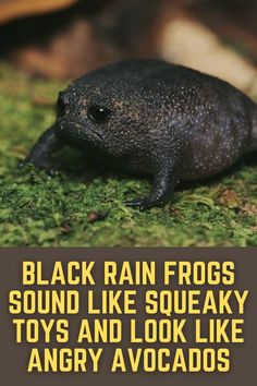 Rain And Thunder Sounds, Rain Sounds For Sleeping, Frog Species, Frog Life, Poison Dart Frogs, Sound Of Rain, Nature Sounds, Tropical Forest, Natural Sleep