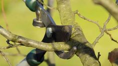 Pruning trees and shrubs is an important part of their maintenance. The proper cutting implements and technique are crucial too. This article discusses thinning cuts.