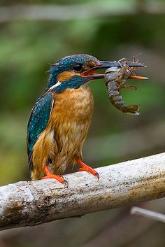 Common Kingfisher (Alcedo atthis) Hey, I like lobster too...I must be related.