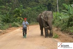 Elephant auf dem Feldweg Felder, Thailand, Elephant, Animals, Tour Operator, Travel, Animales, Animaux, Elephants