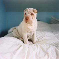 shar pei...I don't want a shar pei, but I loved the ones we had when I was growing up!