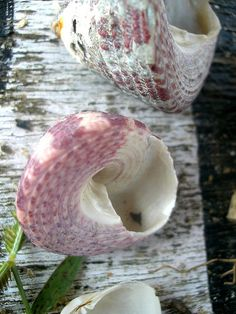 sea shell(¯`•♥•´¯)☆ Beautiful.....Mary Nelson  *`•.¸(¯`•♥•´¯)¸.•♥♥• ☆ º ` `•.¸.•´ ` º ☆.¸.☆¸.•♥♥•¸.•♥♥•¸.•♥♥•