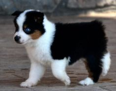 Black tri male puppy with one blue eye, Marah X Sexy, born 7-13-13. $2000. This guy is spoken for!