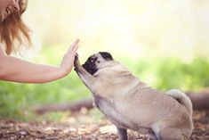 High Five - Hans the Pug by Petal Photography   Pretty Fluffy