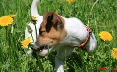Cães Jack Russell Terrier foto