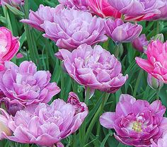 Tulip Lilac Perfection