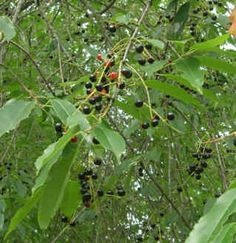 The Fruit of the Black Cherry Tree