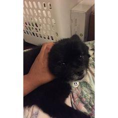 #usatnight #thethingsidotohim #pom #teddy #6 #awesome #pomeranian #huskymix #pomeranianhuskymix #boy #dog #doglover #cute #hesomean #gotobed #up #vamping #vampries #blackwhite #smalldogs #wolflike #dt #rate  Photo By: ____lilredn3ssa  http://bit.ly/teacupdogshq