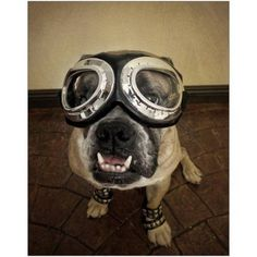 Bulldog ready to fly Photography by Eazl, Size: 20 x 16, Gray