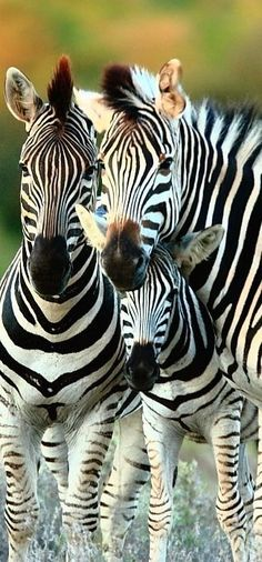 Zebras - They Remind Me Of The Cartoon Movie Madagascar. Chris Roc Played The Part Of Marty The Zebra.