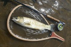 Grass carp on fly isn't impossible target. Its nickname is Russian chub :) Small but really fighting fish.