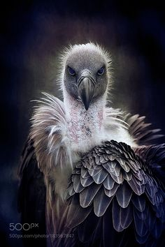 Who You Looking At - Vulture I Like Birds, Pretty Birds, Beautiful Birds, Animals Beautiful, Animals And Pets, Funny Animals, Cute Animals, Bird Pictures, Animal Pictures