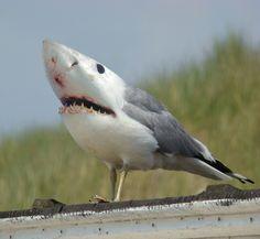 SEAGULL-SHARK