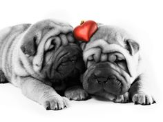 Dogs Valentine HD and Wide Wallpapers where can you buy pet protector online ?https://www.youtube.com/watch?v=oYq2GffOZsc