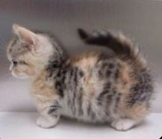 Munchkin Cat - i wants it!!