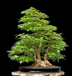 Walter Pall Bonsai Adventures: Japanese maple #14 - nice natural shape. The pot and stand enhance the idea of being in the outdoors