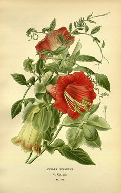 """""""Cobaea scandens"""" - Botanical illustration from 'Favourite Flowers of Garden and Greenhouse' by Edward Step, published by Frederick Warne & Co (1896)"""