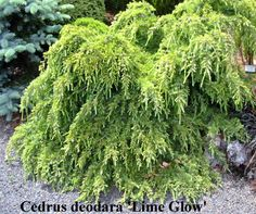 Cedrus deodara 'Lime Glow' Cedrus deodara 'Lime Glow' A spreading cedar, quite low at first before building up in height. Could reach x in 10 years. Foliage, Landscape Design, Conifers, Garden, Cedrus Deodara, Green, Landscape, Plants, Herbs