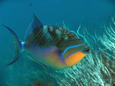 Clown Fairy Wrasse | All About Aquarium s - We Bring the Aquarium Store to Your Door - Fish ...