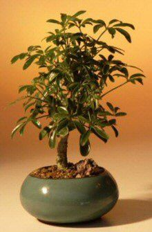 Hawaiian Umbrella Bonsai Tree - Small(arboricola schefflera 'luseanne')