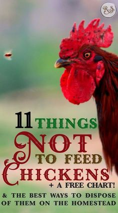 Feeding & raising backyard chickens is easy but you need to know which foods NOT to feed chickens. After you learn what they cant eat well learn the best way you can resourcefully dispose of them. Best Egg Laying Chickens, Raising Backyard Chickens, Backyard Chicken Coops, Keeping Chickens, Chicken Coop Plans, Building A Chicken Coop, Diy Chicken Coop, Pet Chickens, Urban Chickens