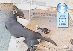 Dog and Her Adopted Chicks are so cute in this video  http://www.animalvideooftheweek.com/videos/view/3401  #avotw