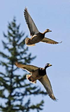 """Mallard's in flight... """"Mated pairs"""" MIGRATE TO and BREED IN the northern parts of their range and build nests on the ground or in a protected cavity... http://animals.nationalgeographic.com/animals/birds/mallard-duck/"""